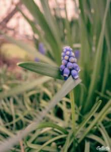 Photo de muscari par callistta photographie